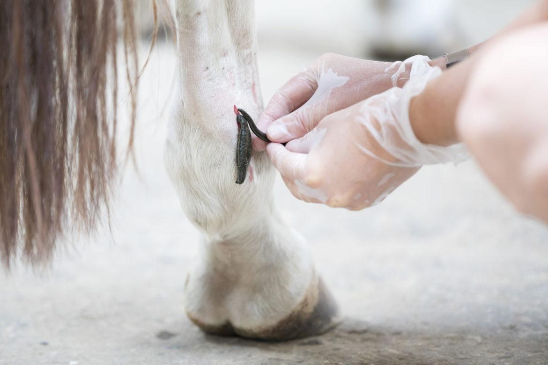 טיפול בעלוקות – שיטת ריפוי טובה לבעלי חיים