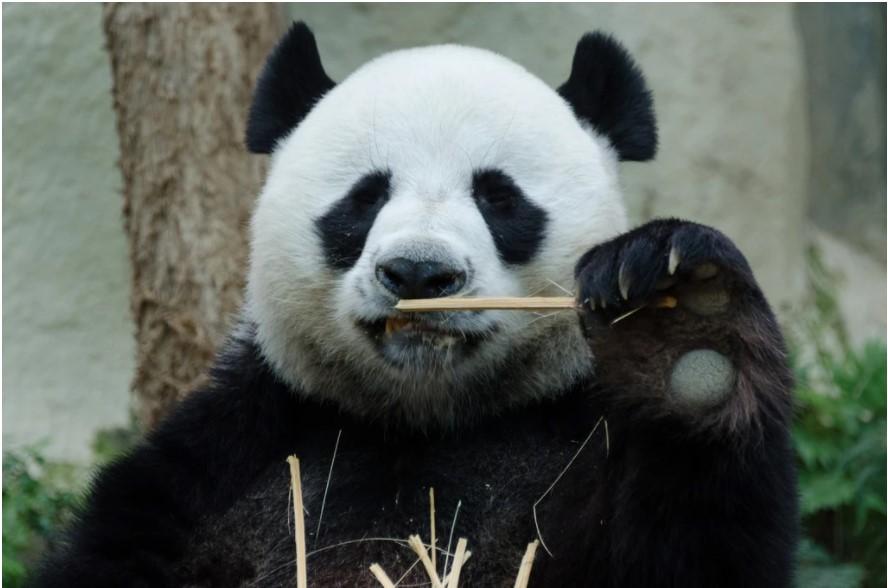 פנדה בגן החיות של צ'יאנג מאי